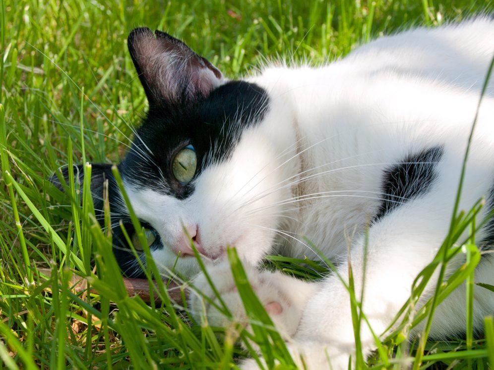 Chat dans l'herbe